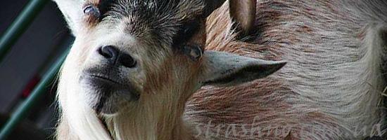 Страшный сон о козле