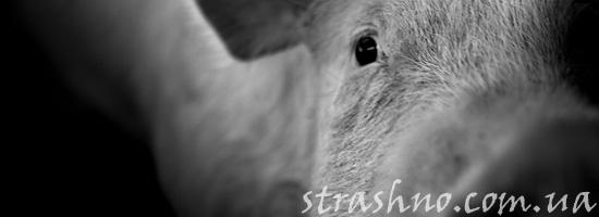 Мистическая история о белой свинье