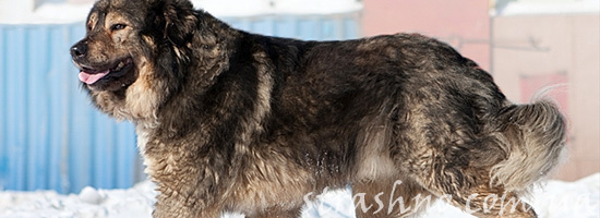 Пес-кавказец