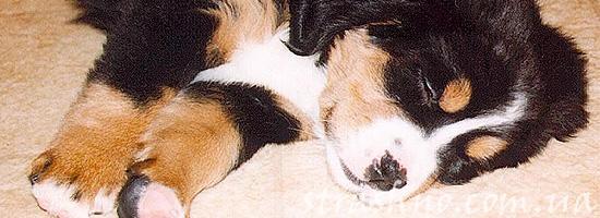 История о внезапно умирающих щенках