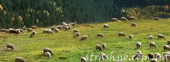 Мистическая история во время выпаса овец