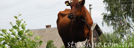 Странное поведение коровы