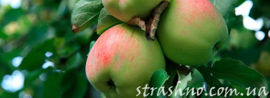 Яблоки в чужом саду