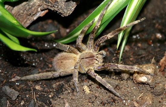 блуждающий паук-охотник