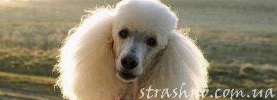 мистика собака пудель