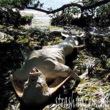 Жуткая мумия русалки из Малайзии