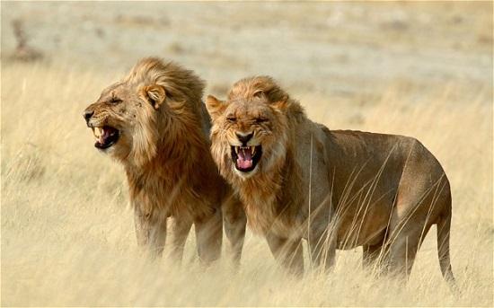 рычащие львы
