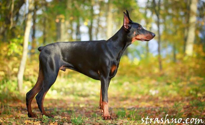 Агрессивная собака породы доберман