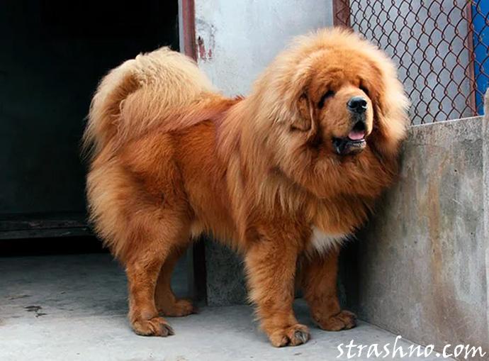Опасная агрессивная порода собак