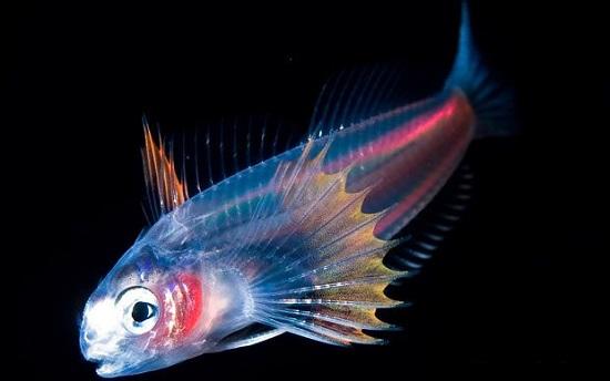 глубинная светящаяся рыбка