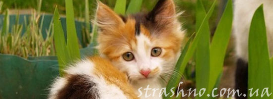 трёхцветный котёнок