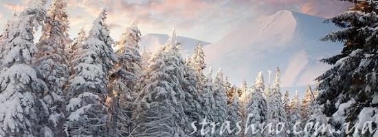 покрытые снегом сосны