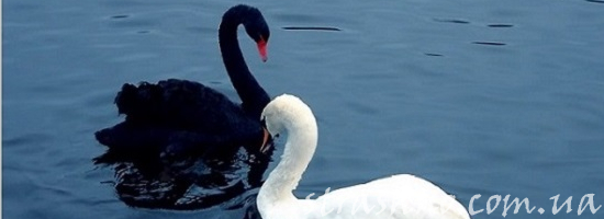 белый и чёрный лебедь