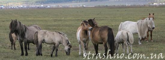 якутские лошади на пастбище