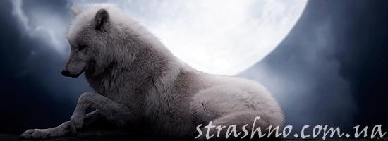 Белый волк-оборотень из сна