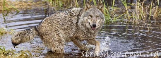 одомашненный волк
