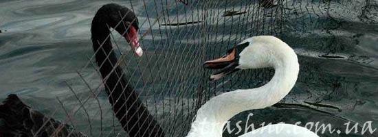 лебеди чёрный и белый