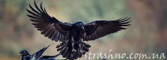 полёт и посадка ворона