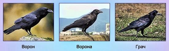 ворон, ворона и грач