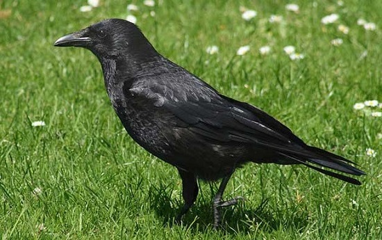 чёрная ворона на траве