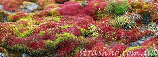 разноцветный мох