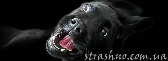 жуткая собака ротвейлер