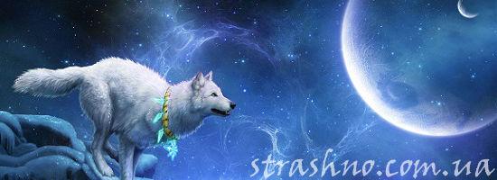 белый волк и луна