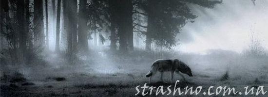 одинокий волк в ночном лесу
