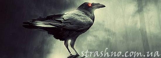 ворона под дождём