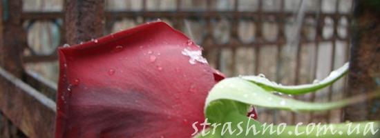 роза на кладбище