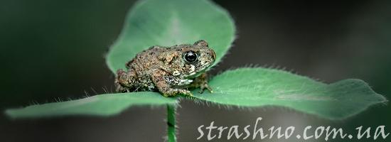 жаба на клевере