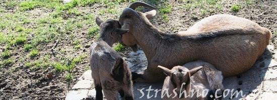 коза козлята