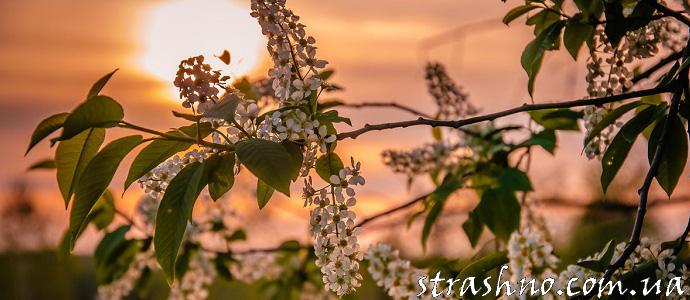 Сила цветущей черёмухи