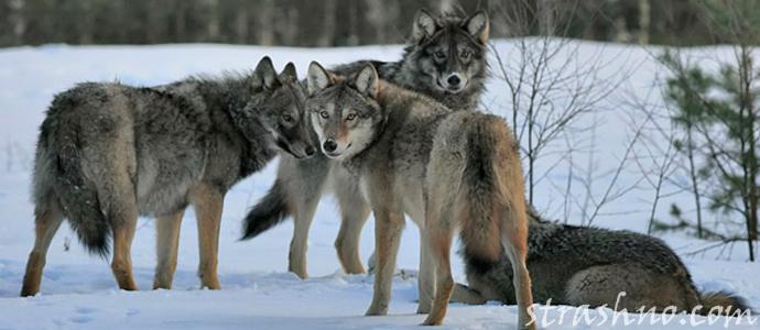 мистическая история о нашествии волков на поселок