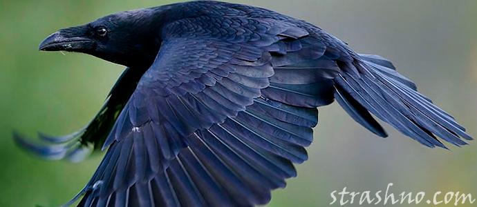 история о нападении страшного ворона