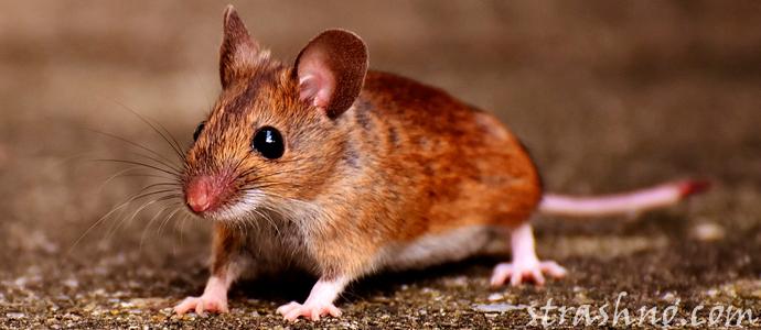 страшная и смешная история о встрече с крысой