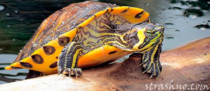 история о желтоухой черепахе