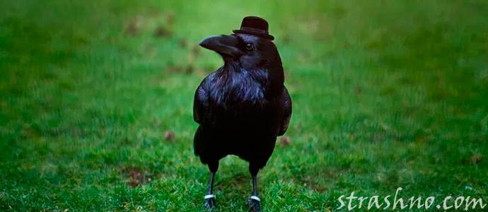 рассказ об умном черном вороне