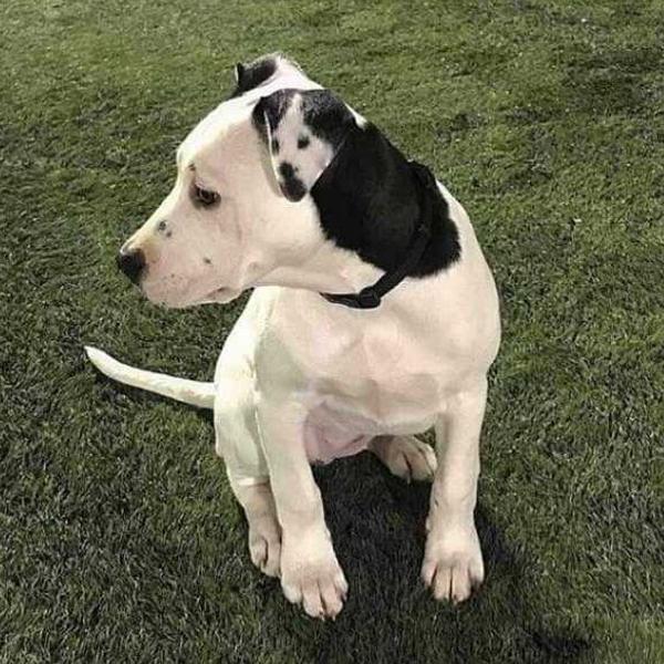 собака с фото на ухе