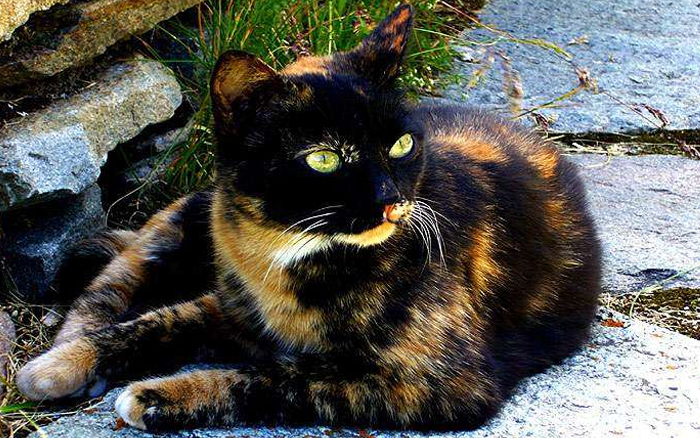 семицветная кошка
