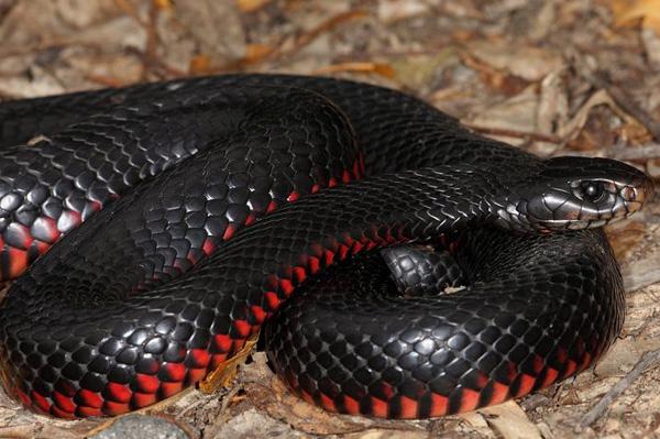 ядовитая черная змея