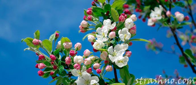 сон про цветущую яблоню