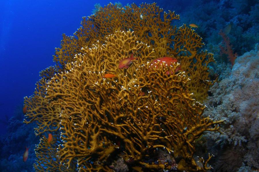 опасные кораллы