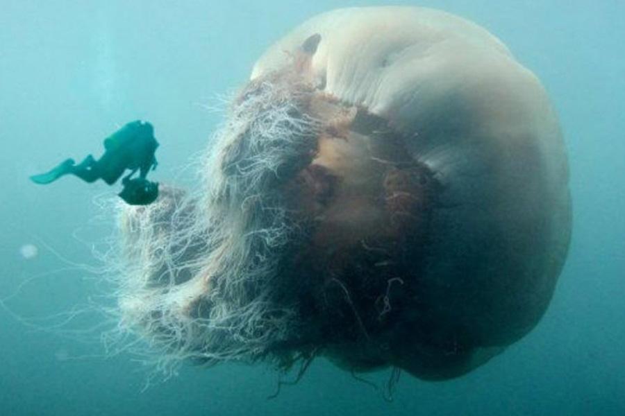 опасная Медуза Цианея