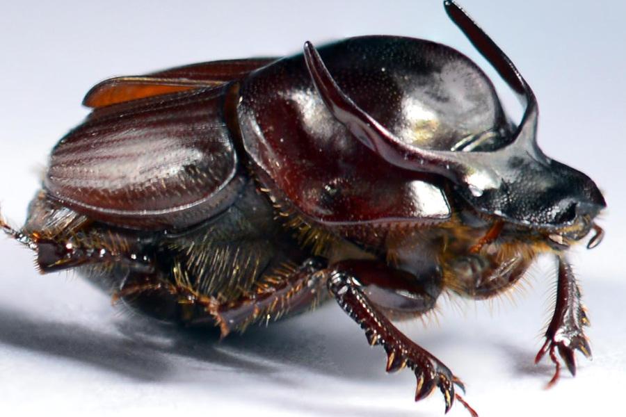 страшный двурогий жук