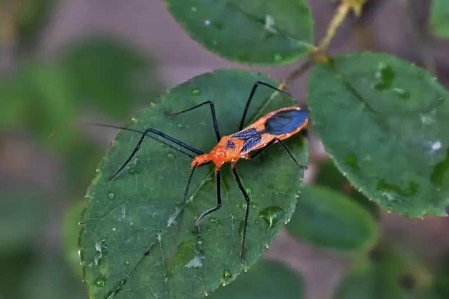 ядовитый жук