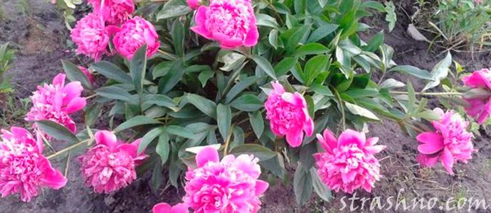 розовые пионы на детской могилке