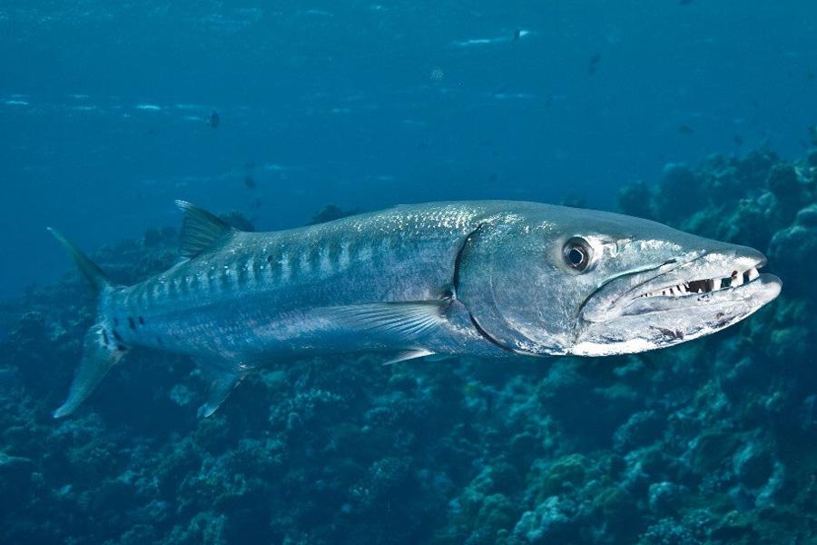 опасная рыба баракуда