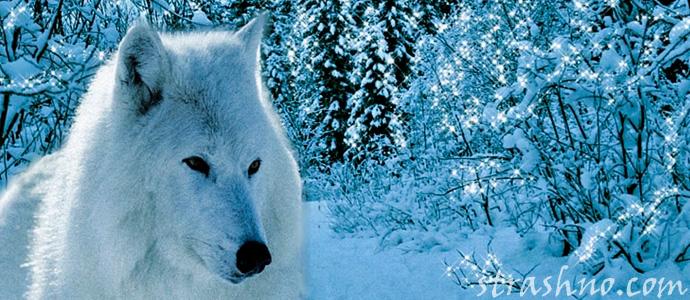легенда о белой волчице