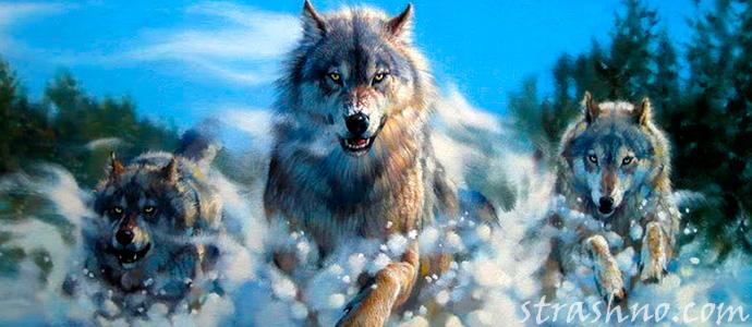 страшная встреча с волками